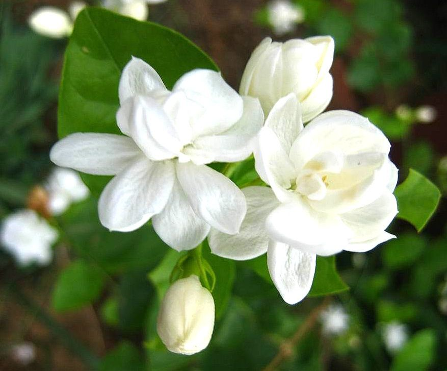 hinh-tinh-dau-hoa-lai-nguyen-chat-(jasmine-essential-oil)